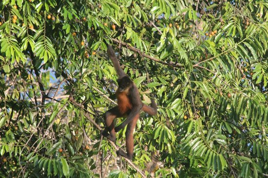 Bosque del Cabo Rainforest Lodge:                   Spider monkey seen from our deck