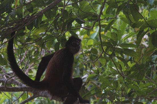 Bosque del Cabo Rainforest Lodge:                   Spider monkey 15 feet from our deck