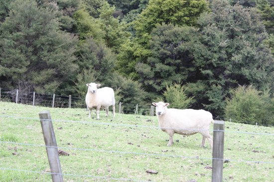 Kauri Villas:                   Neighbor's sheep