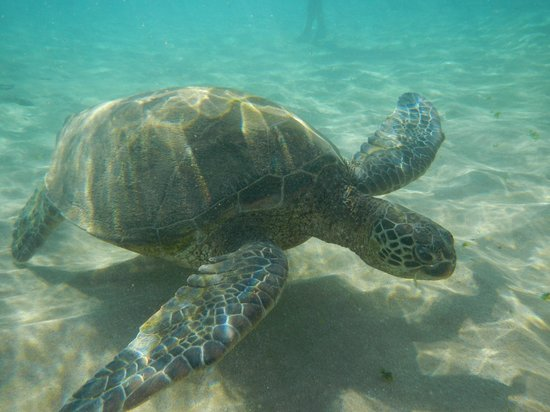 Sheraton Maui Resort & Spa:                                     The turtle that was hanging out in the shallows in front of