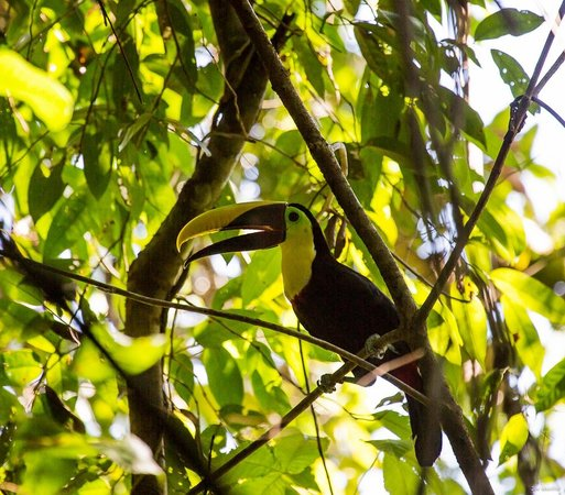 Saladero Eco Lodge:                   Toucan in the trees near our cabin