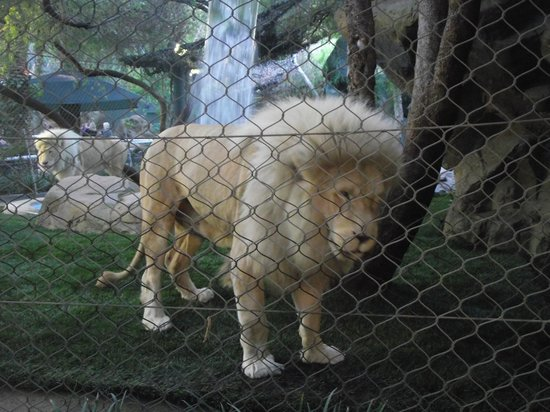 Lion Picture Of Siegfried Roy 39 S Secret Garden And Dolphin Habitat Las Vegas Tripadvisor