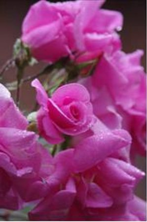 Alexandria B&B: Roses in Garden