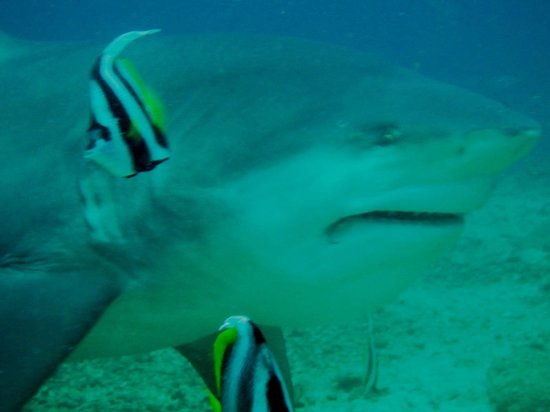 Uprising Beach Resort:                   bull shark