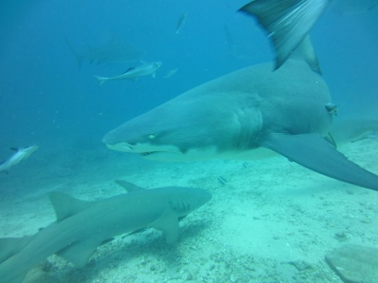 Uprising Beach Resort:                   shark dive