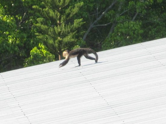 Condotel Las Cascadas:                   View of the monkeys you will see on the rooftops.