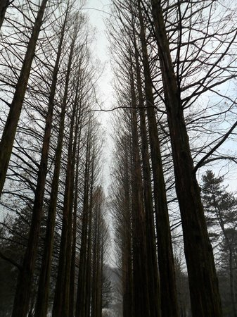 Chuncheon, Zuid-Korea:                   Forest at Namiseom