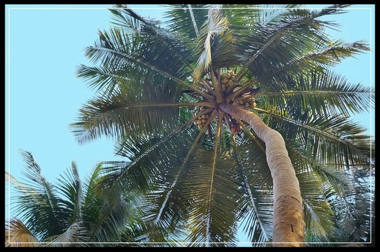 Silver Sand Beach Resort:                   Coconut tree