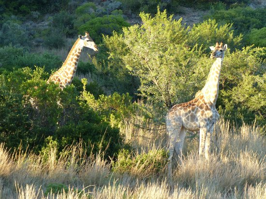 Gondwana Game Reserve:                   Two females