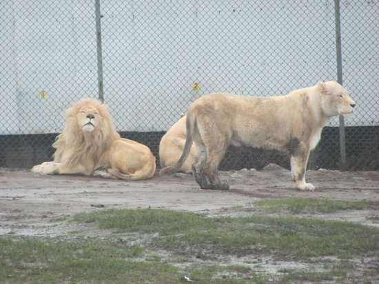 West Midland Safari and Leisure Park:                   Lions
