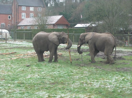 West Midland Safari and Leisure Park:                   Elephants playing with a stick