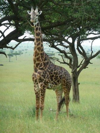 Kilima Camp :                   Giraffe in the Mara Triangle