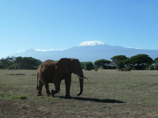 Tawi Lodge:                   Lone elephant in Amboseli