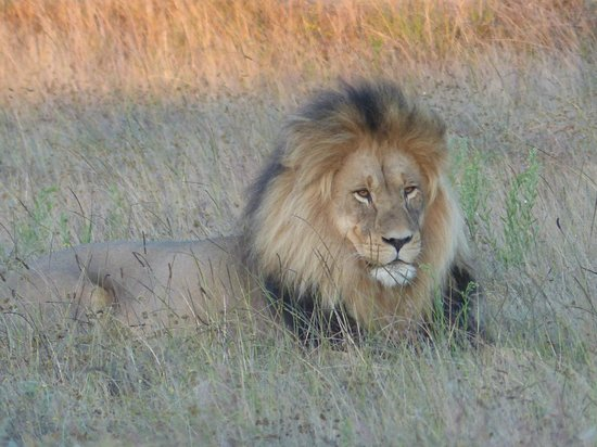 Gondwana Game Reserve :                   Proud father of cubs