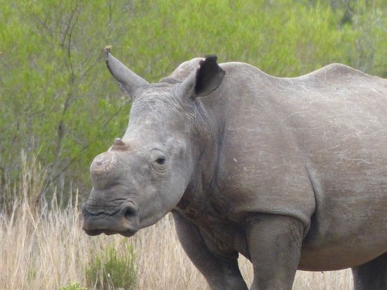 Gondwana Game Reserve:                   Hornless White Rhino