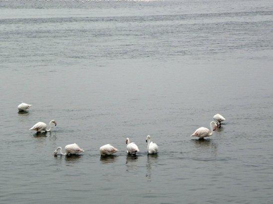 Protea Hotel by Marriott Walvis Bay Pelican Bay: Des flamants roses devant l'hôtel