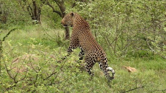 Naledi Bushcamp and Enkoveni Camp: Fabulous Male Leopard