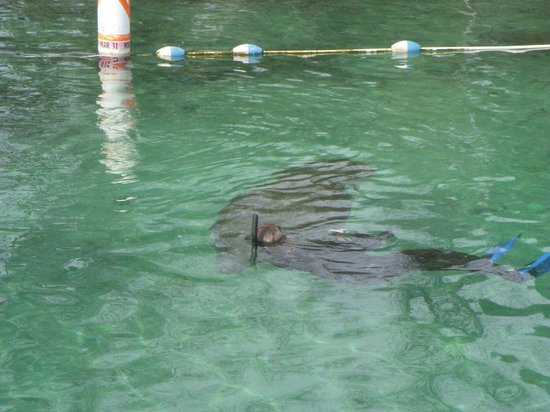Crystal Lodge Dive Center: A snorkler with a manatee outside of Three Sisters Springs