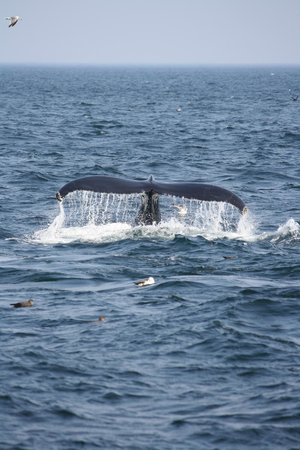 Hyannis Whale Watcher Cruises:                   Whale