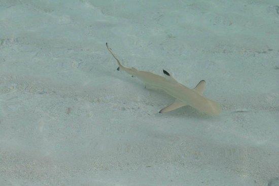 Euro Divers :                   petit requin compagnon de bains