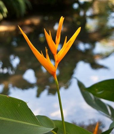 Shaw Park Gardens & Waterfalls :                                     Bird of Paradise