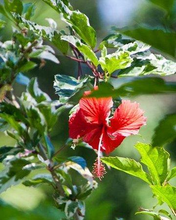 Shaw Park Gardens & Waterfalls:                                     Hybiscus