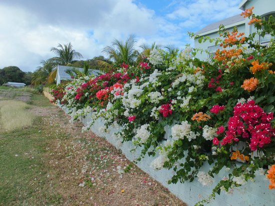 Royal St. Kitts Golf Club: flower on the course