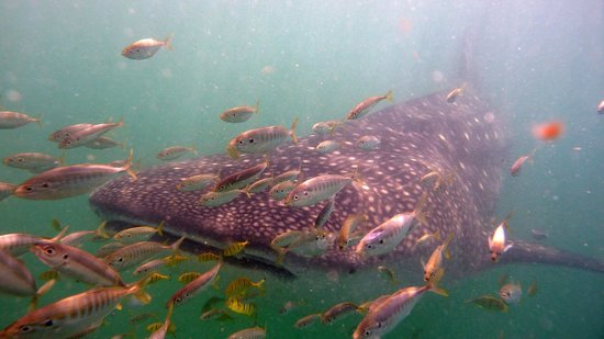 Butiama Beach:                   Whale Shark Snorkel Safari
