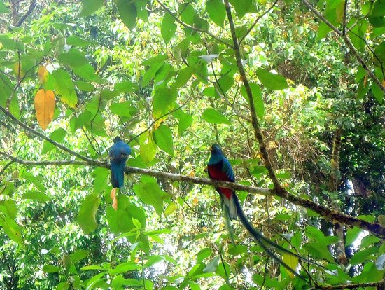 Savegre Hotel, Natural Reserve & Spa:                   Both Quetzals feed their young