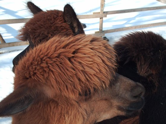 Bella Alpacas:                                     Some of the girls