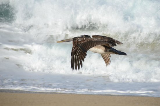 Arriba de la Roca: Pelican on the crashing waves