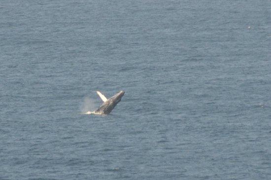 Arriba de la Roca: Breaching whale