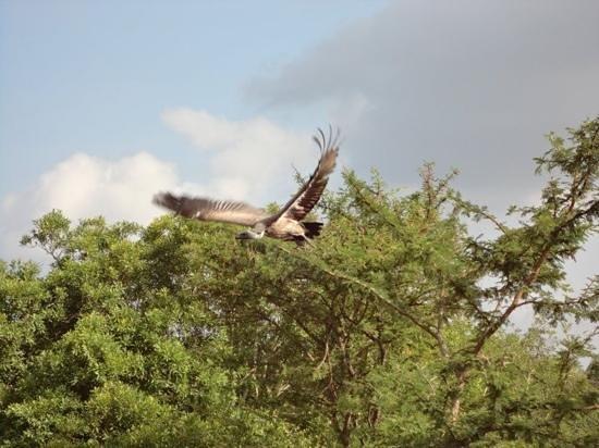 Kapama River Lodge :                   A Vulture in Kapama