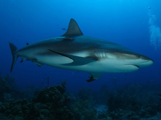 Tranquilseas Eco Lodge and Dive Center: shark dive