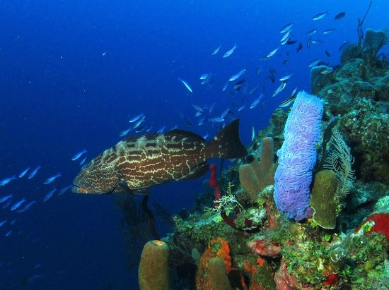 Tranquilseas Eco Lodge and Dive Center: black grouper