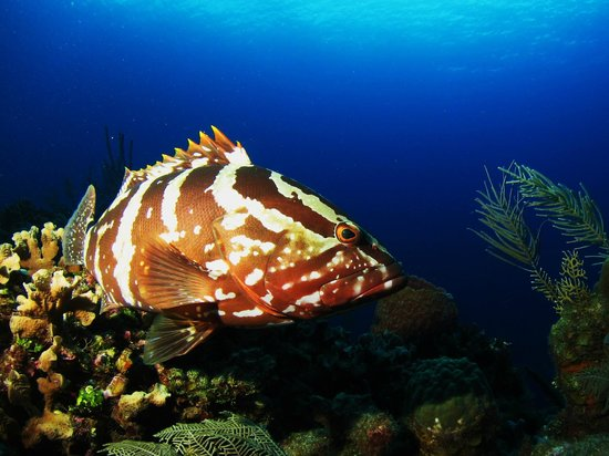 Tranquilseas Eco Lodge and Dive Center: Nassau grouper