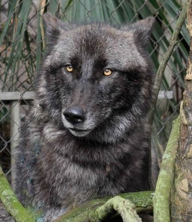 Shy Wolf Sanctuary Education & Experience Center:                   SWS resident