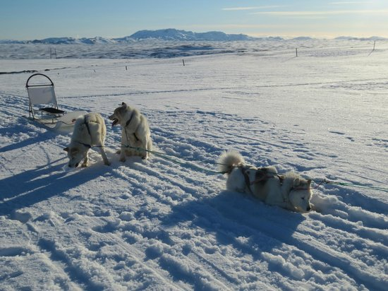 Eskimos Iceland:                   Our huskies!