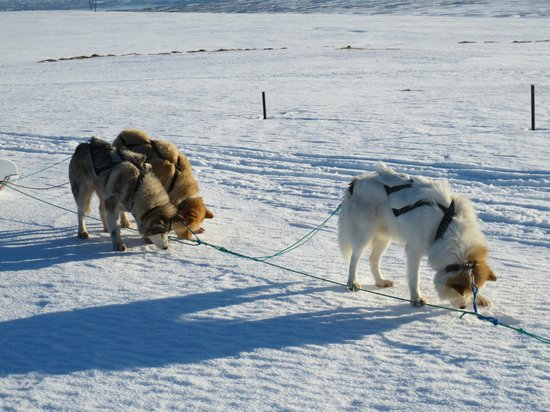 Eskimos Iceland:                   Our huskies licking the ice during their rest!
