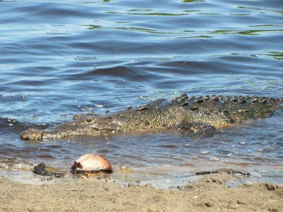 Laguna Ventanilla : Cocodrilo