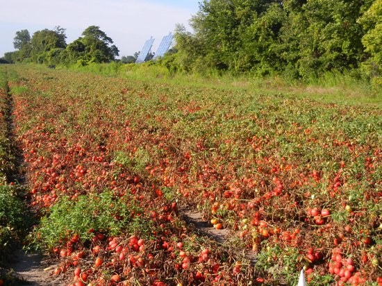 Tomato Field Across The Road Picture Of Duck Pond Bed