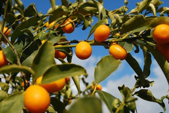 Agriturismo San Leonardello:                   le arance
