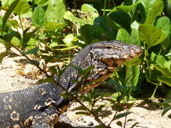 Royal Beach Resort:                   monitor lizard
