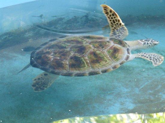رويال بيتش ريزورت:                   turtle                 