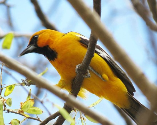 Costa Rica For Everyone: Yellow bird