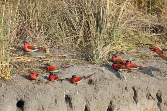 Lagoon Camp - Kwando Safaris: Bee Eaters Nesting
