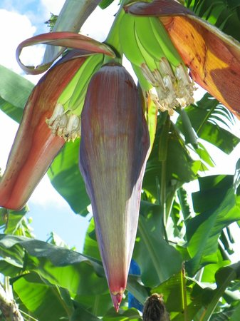 Cosol Tours - Banana plantation