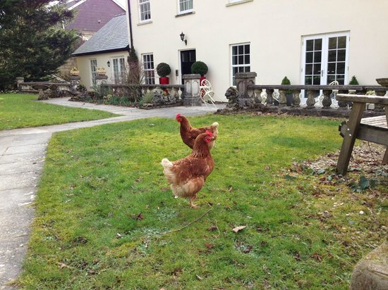 Glangwili Mansion:                   chickens in the grounds