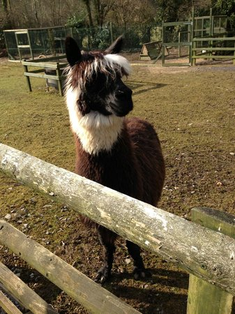 Glangwili Mansion:                   one of the alpacas