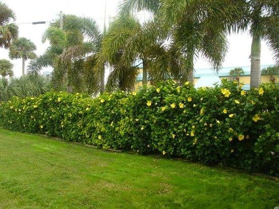 Oasis Palms Resort: Beautiful Privacy Hedges